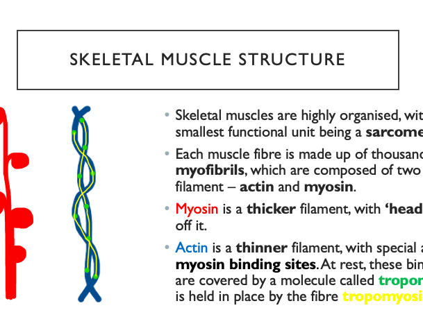 OCR A Biology A-level  5.1.3 Muscle Contraction