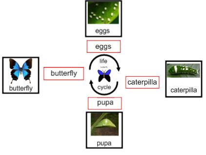 Life Cycle of a butterfly - Interactive Activities and Worksheets