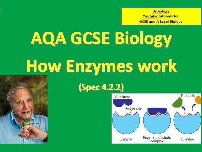 How Enzymes Work GCSE Biology