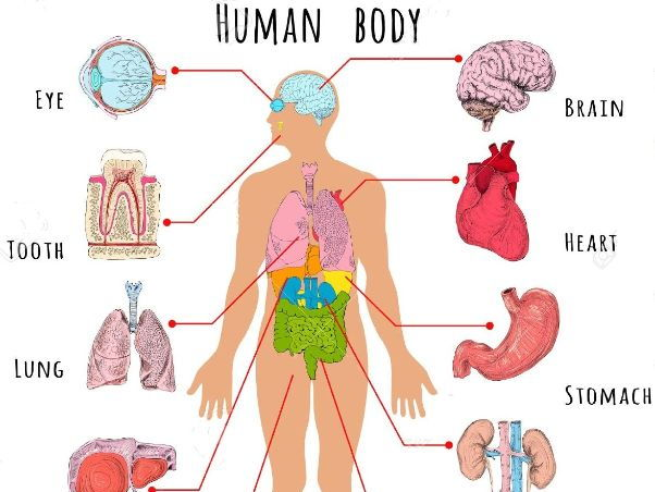 Picture of the human organs in the body