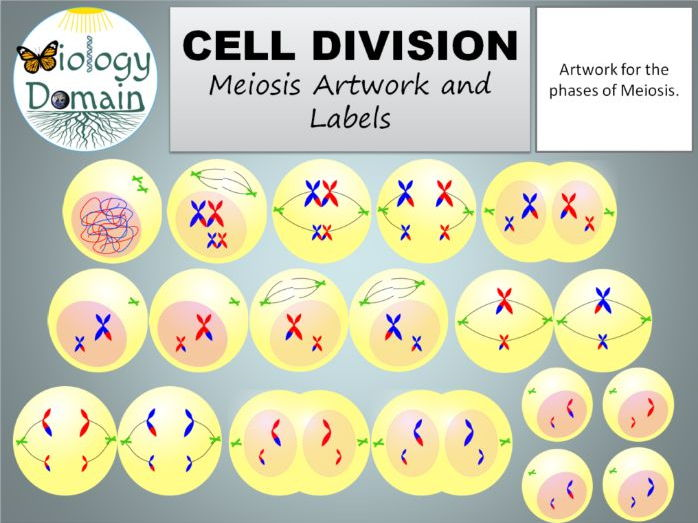 Cell Division: Meiosis Artwork and Labels Free!