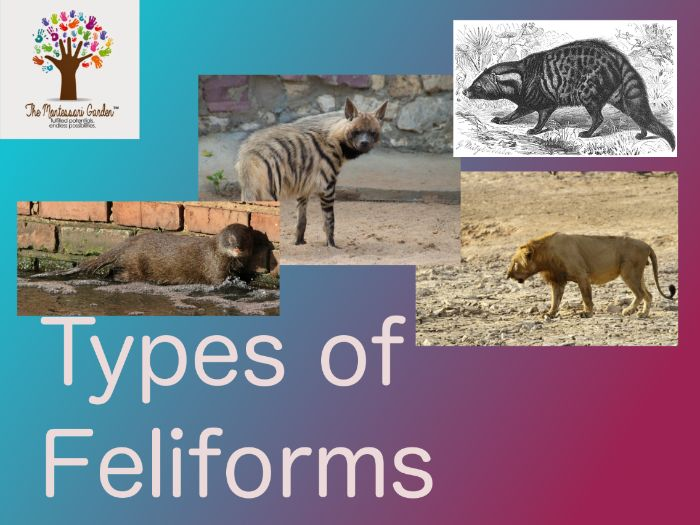 Montessori Classification: Types of Feliforms