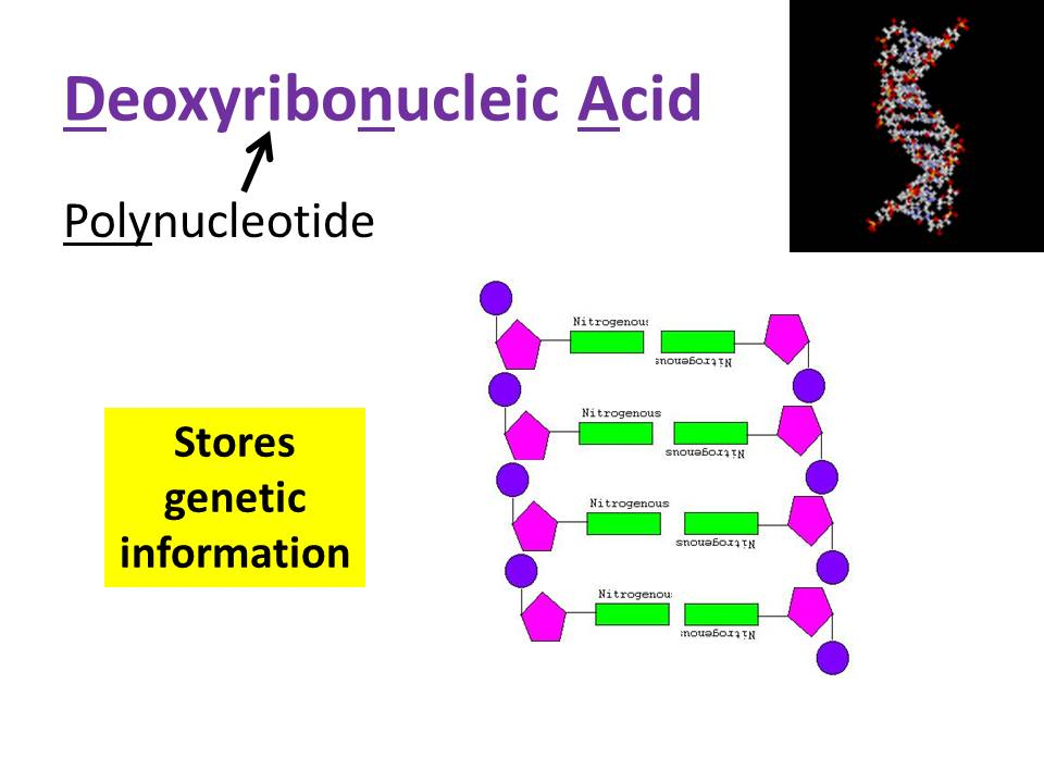 Nucleotides - OCR AS/A Level Biology