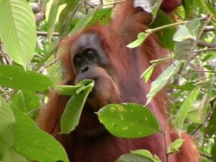 Tapanuli orangutan - reading comprehension