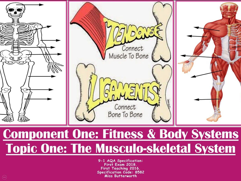 AQA 9-1 GCSE PE - The Muscular - Skeletal System