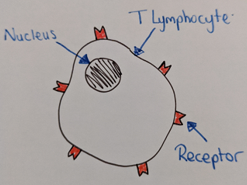 T Cells and Cell Mediated Immunity for A Level Biology