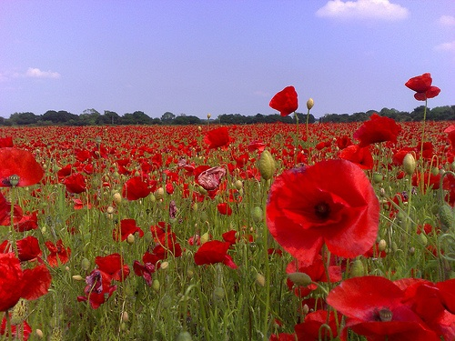 GCSE English Literature 9-1:Poetry: Jane Weir - Poppies