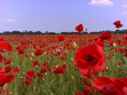 GCSE English Literature 9-1:Poetry: Jane Weir - Poppies
