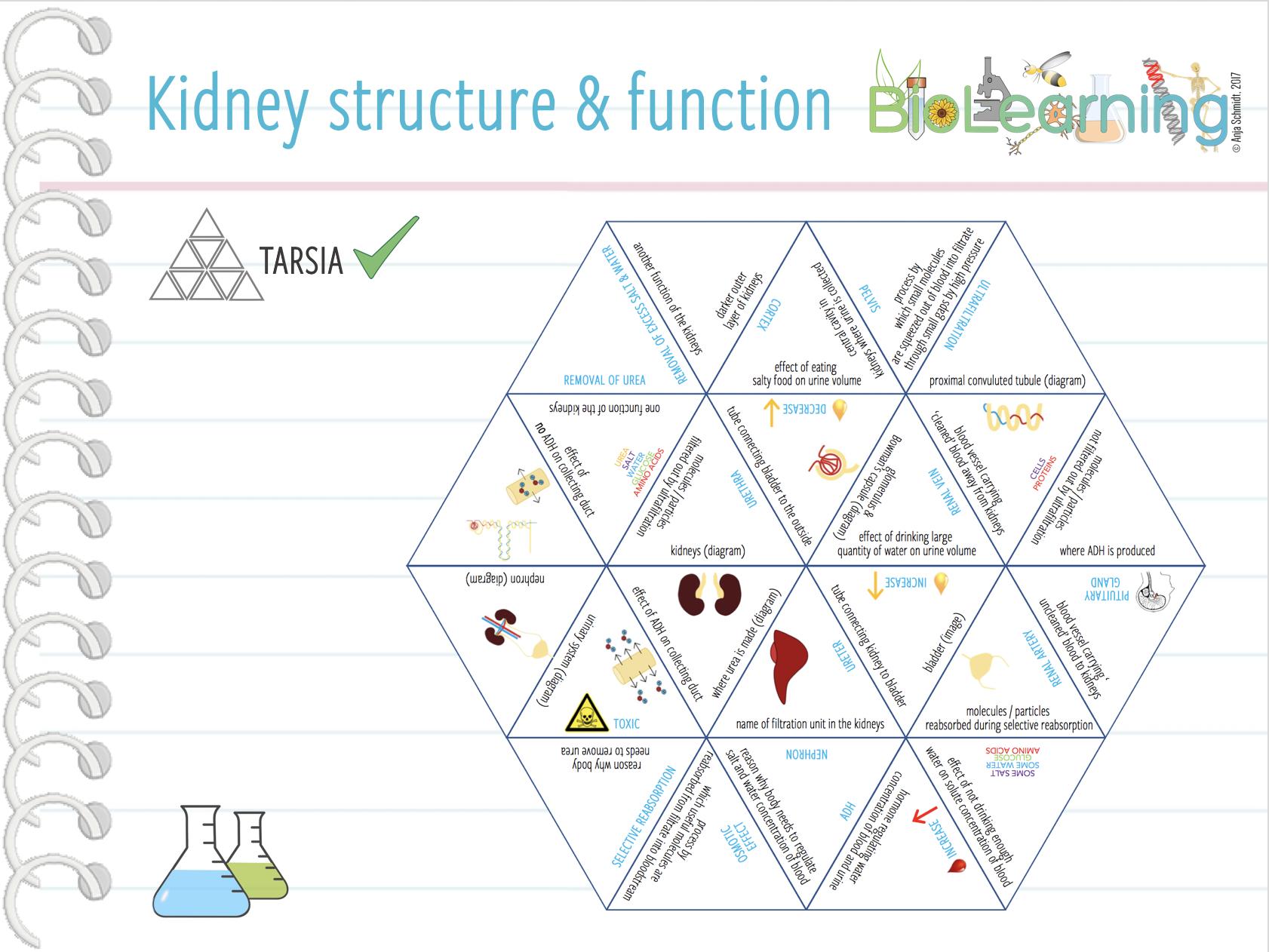 Kidneys structure and function - Tarsia (KS4)