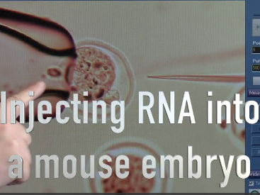 Injecting RNA into mice embryos