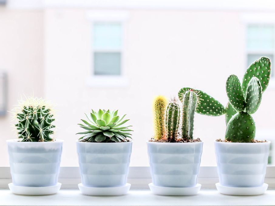Gardening Project : Cacti,  Succulent and Aloe Vera