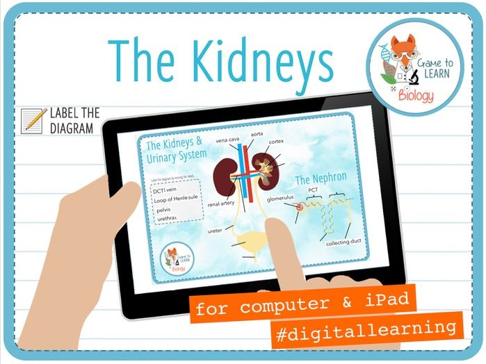 Kidneys and Urinary System - Digital Label Activity (KS4)