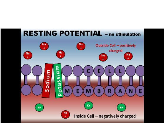 Action Potential Powerpoint / Animation