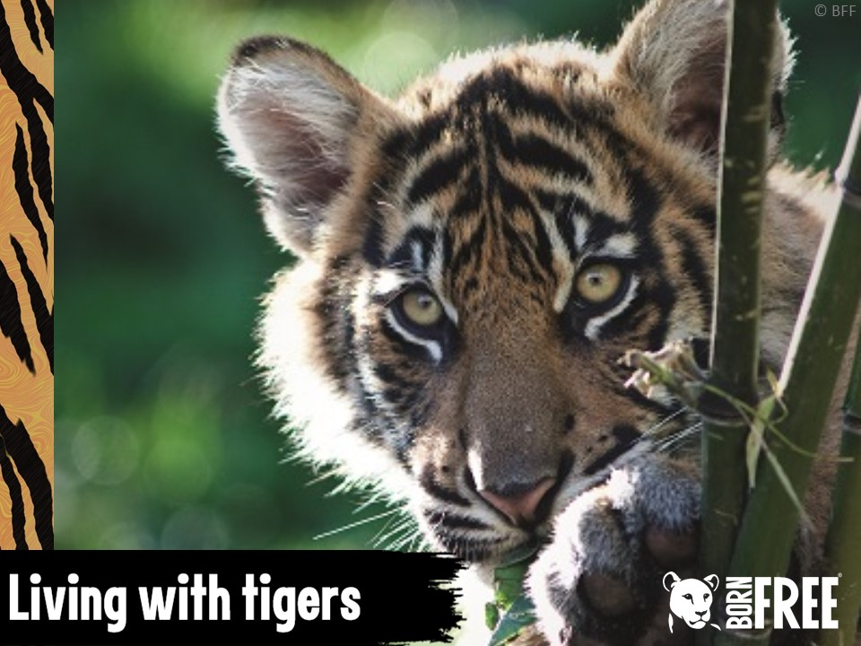 Tremendous Tigers - Characteristics, habitats, threats and solutions. KS2 unit of work. Born Free.