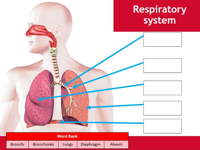 Respiratory system worksheet - BTEC Sport - Unit 3 - Applying the principles of personal training
