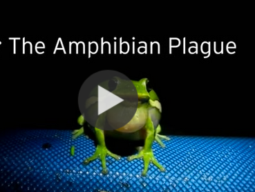 Frog killing fungus - the amphibian plague