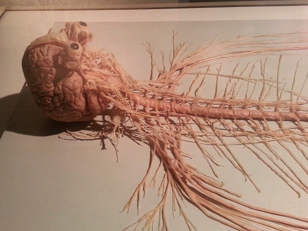 B10: The human nervous system (AQA)