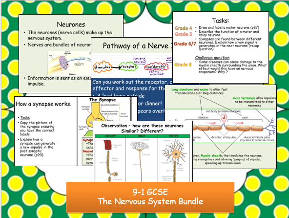 9-1 IGCSE The Nervous System (4 lessons)