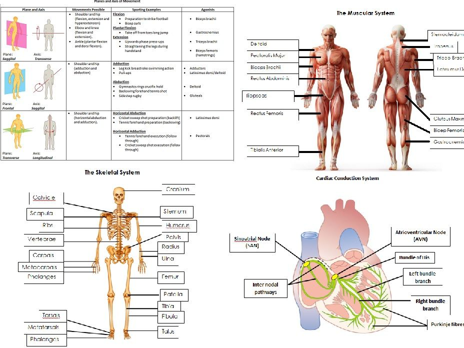 AQA A level PE Anatomy and Physiology Worksheets and Student/Teacher ...