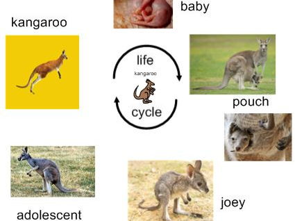 Life Cycle of Kangaroo - Interactive Activities and Worksheets