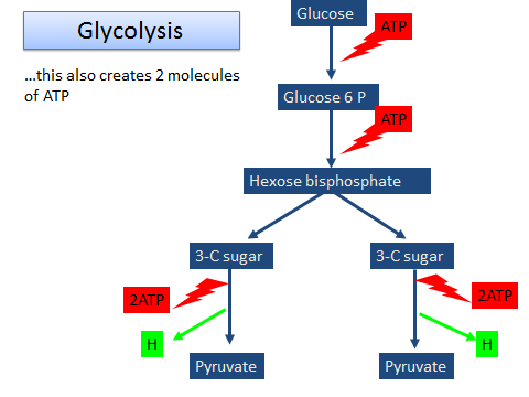 522 ocr a level biology respiration glycolysis 1 2 lessons respiration ocr a level biology 10 12 lessons ccuart Choice Image