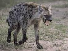 Edwin Morgan, Hyena. Set Scottish Text Revision booklet