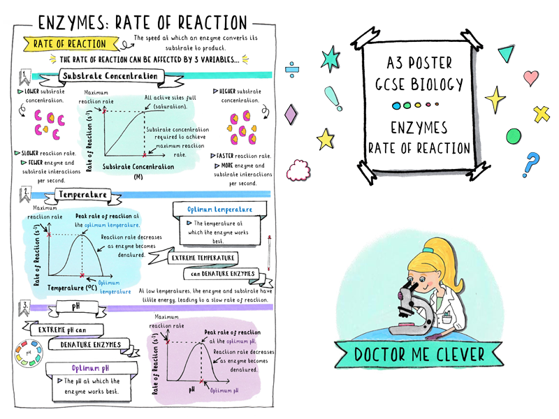 A3 Poster - Enzymes: Rate of Reaction - GCSE Biology