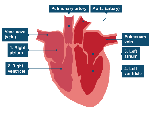 AQA Blood, Blood Vessels and Heart Disease