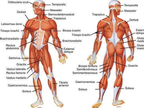 human muscular system by 23ayush95