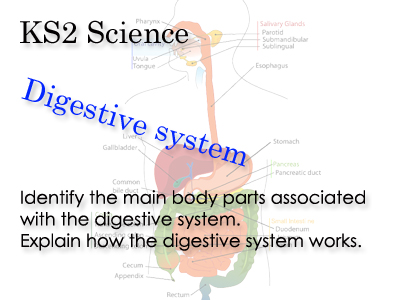 KS2  How the digestive system works