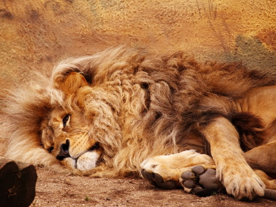 Cecil the Lion Killed by American Poacher