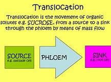 OCR A level Biology Translocation + sugar transport
