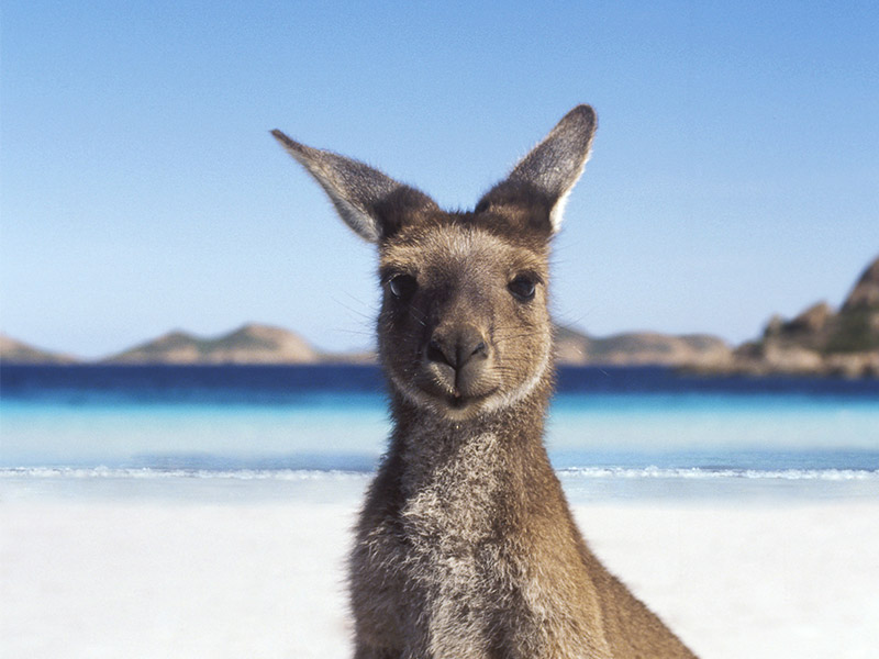 Australian animals lesson