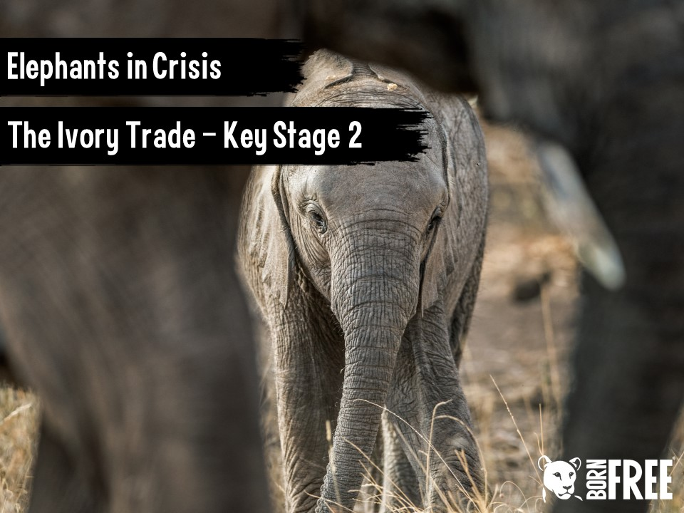 Elephants in Crisis - The Ivory Trade. Short scheme of work for KS2. Born Free.
