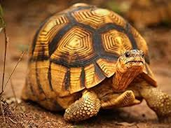 Reading Comprehension: The Ploughshare Tortoise