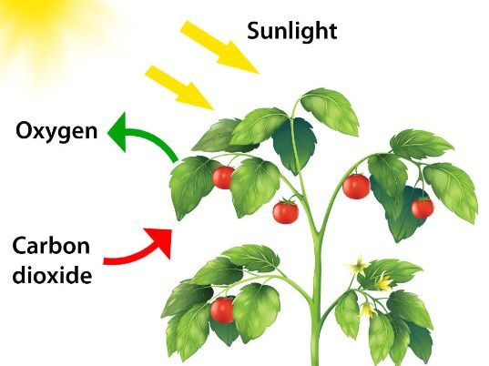 Limiting Factors of Photosynthesis