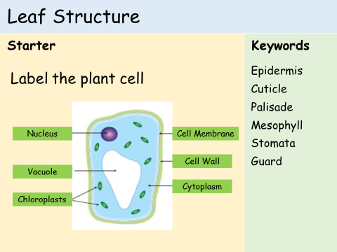Making solutions science teaching resources tes ks3 plants lesson 1 structure of a leaf ccuart Image collections