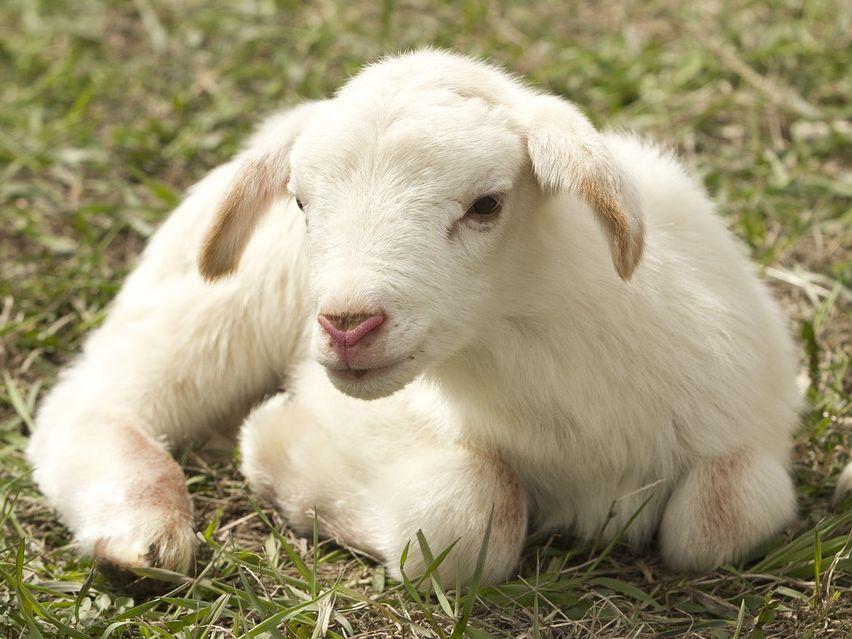Quiz on Emma's Lamb by Kim Lewis