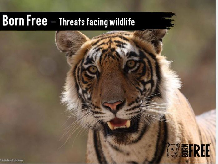 Assembly - Threats facing wildlife. Elephants, turtles, tigers and orcas. Born Free.