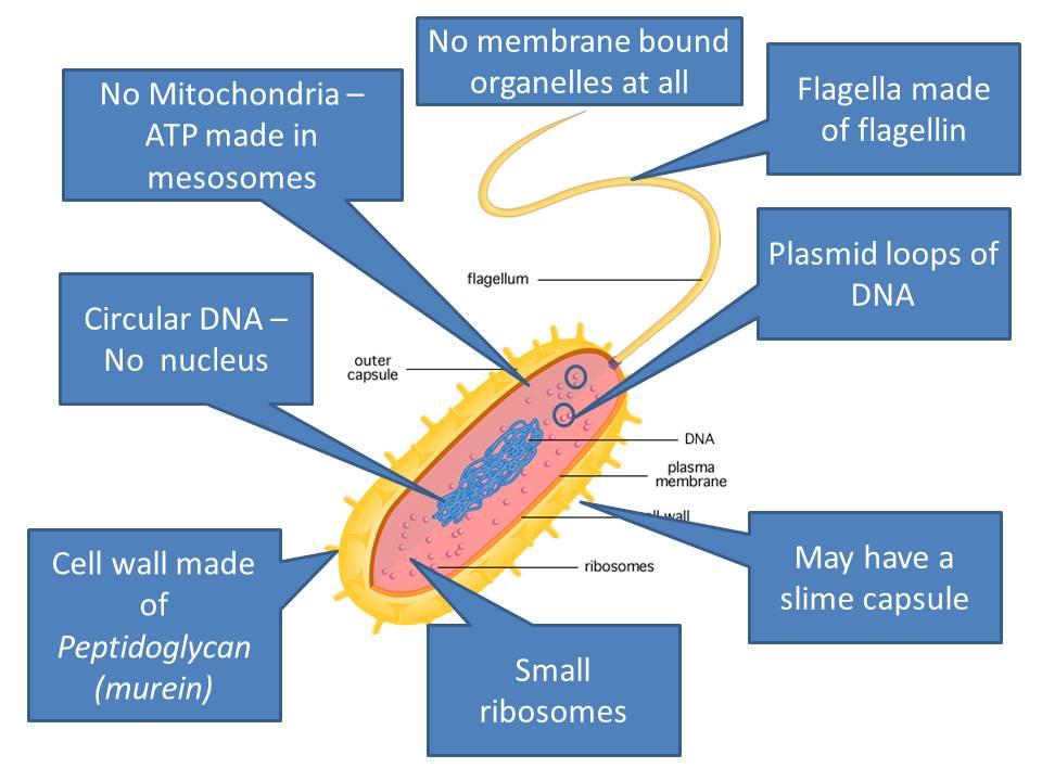 Prokaryotes - OCR AS/A Level Biology