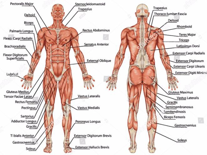Edexcel GCSE PE Full Revision Notes on the Muscular System