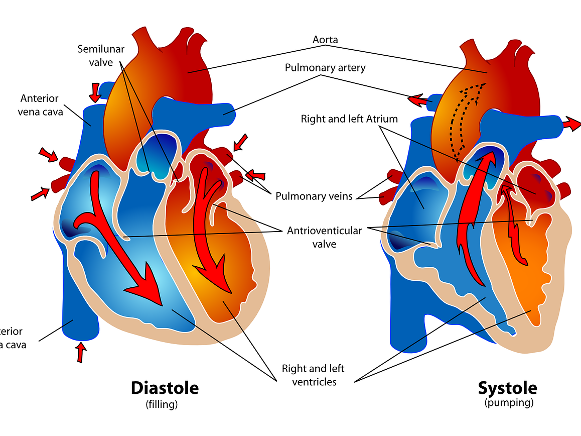 IGCSE PE (spec 2018) Circulatory System