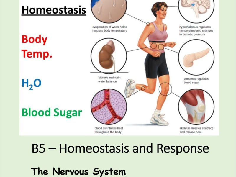 NEW AQA BIOLOGY GCSE - HOMEOSTASIS and RESPONSE - Lesson 2 – The Nervous System