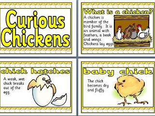 Curious Chickens Display Pack
