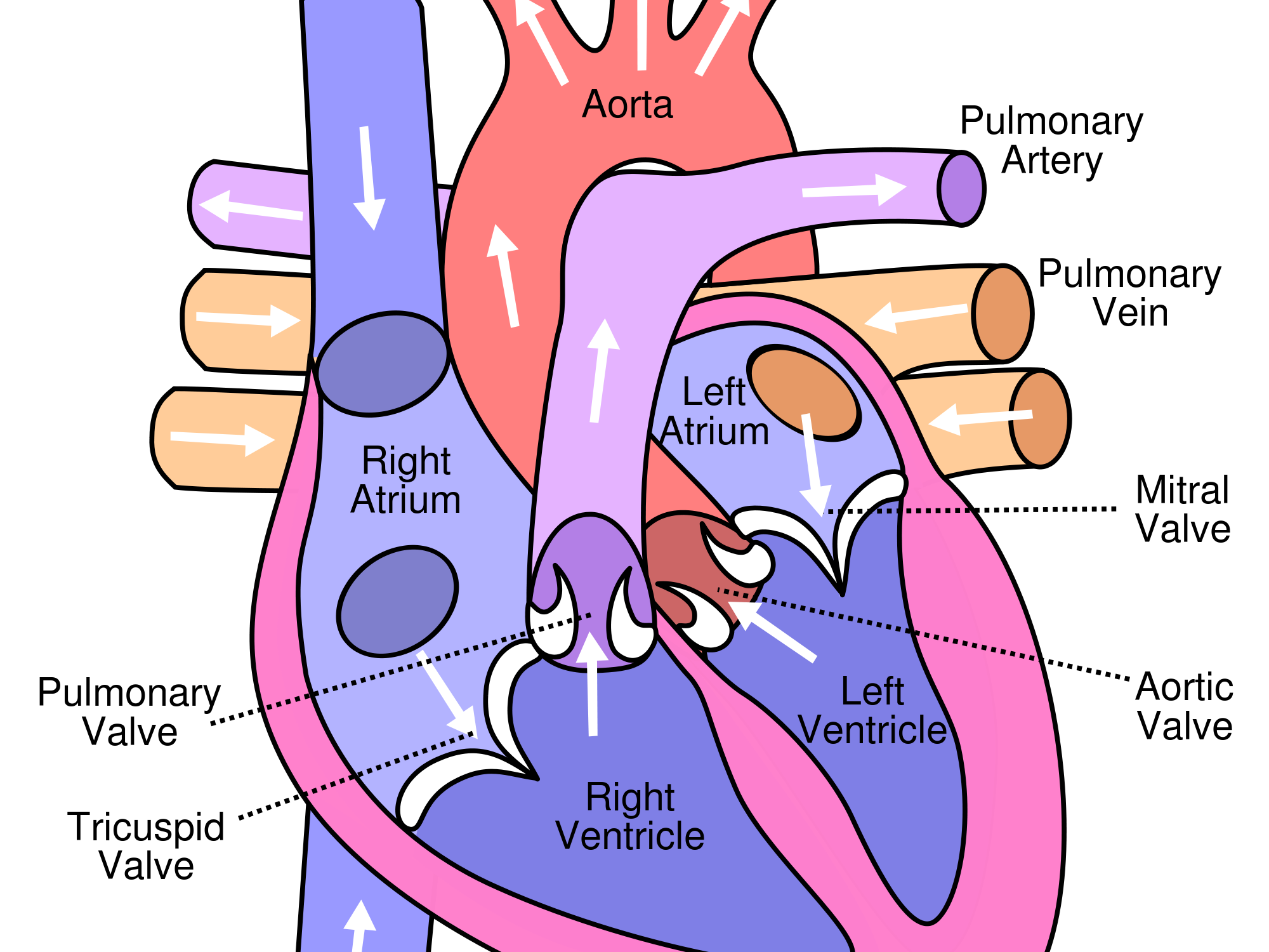 External and Internal Heart Structure Worksheet