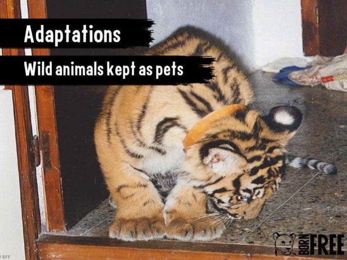 Adaptations - Wild animals kept as pets.