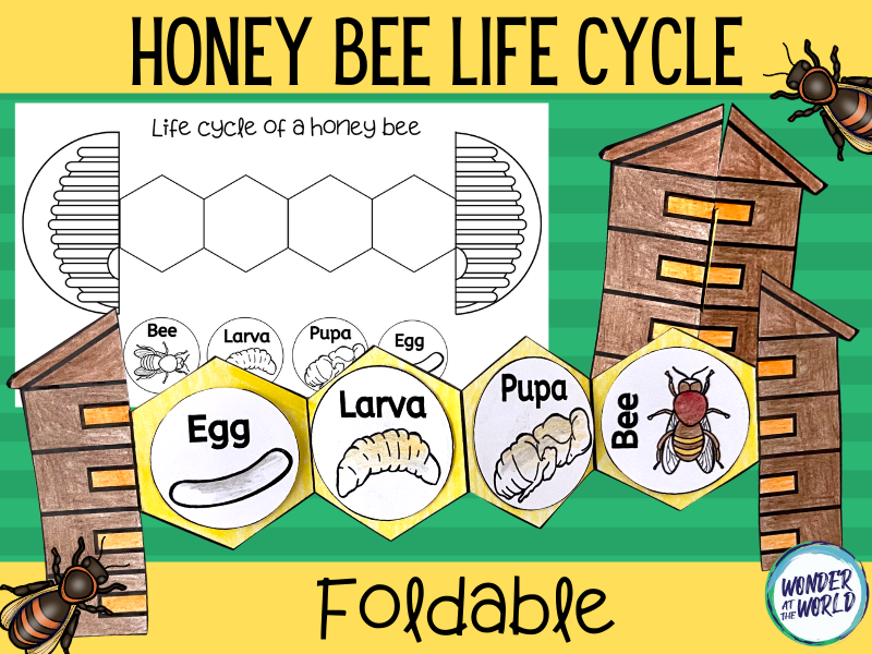 Honey bee life cycle foldable craft