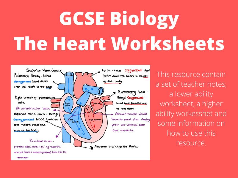 GCSE Biology - The Heart Activity