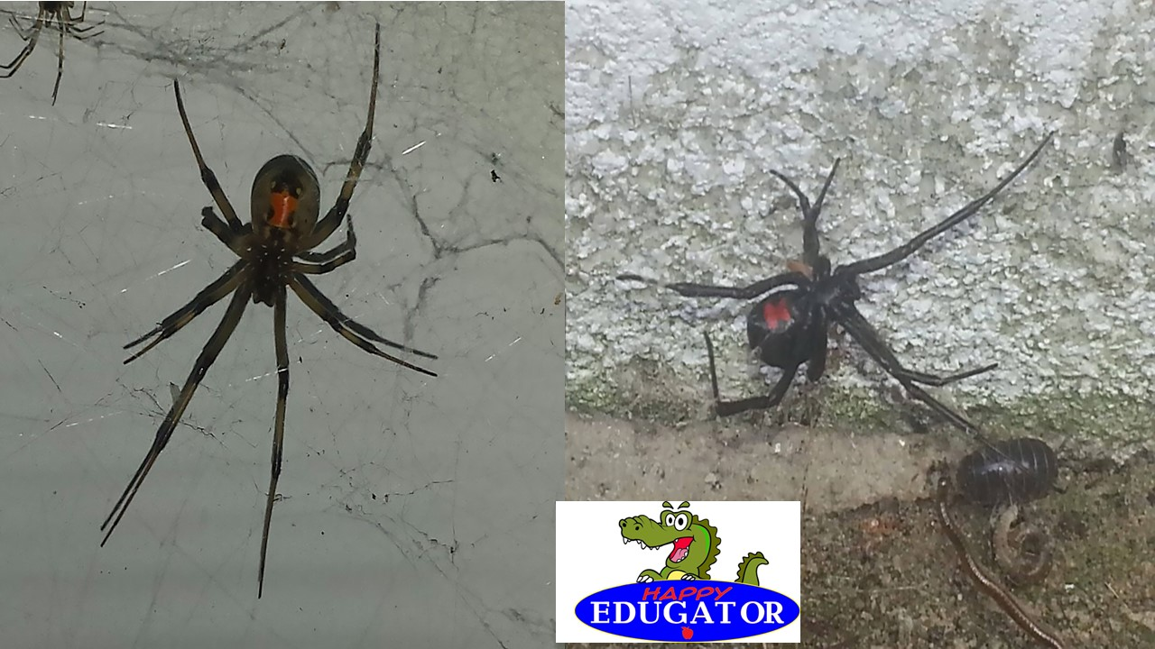 Dollar Stock Photos - Black Widow and Brown Widow Spiders