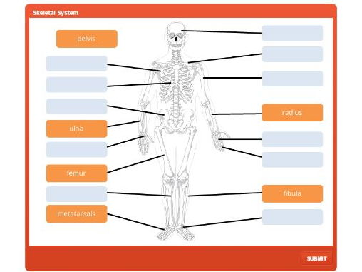 GCSE PE: Skeletal System - Interactive Drag and Drop